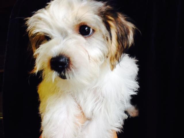 morkie puppies 2 m 1 f ready to go home small hypoallergenic puppy