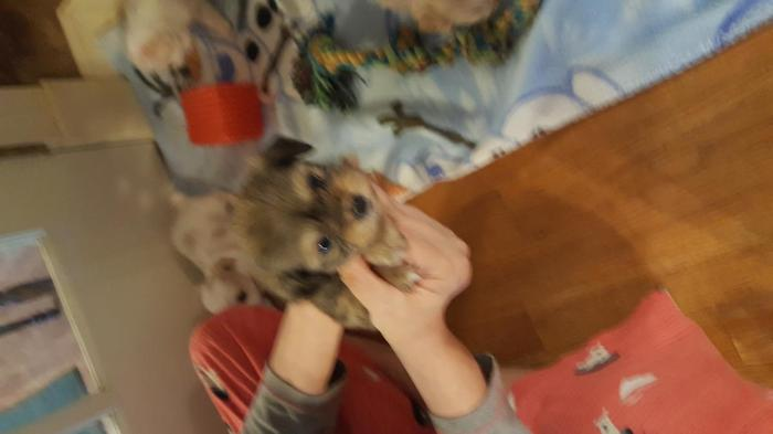 Morkie Puppies for Sale in Hickory, North Carolina ...
