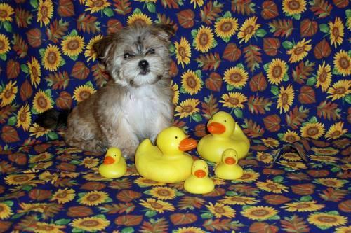 Buy Morkie Puppies for Sale in Meriden, Minnesota Classified