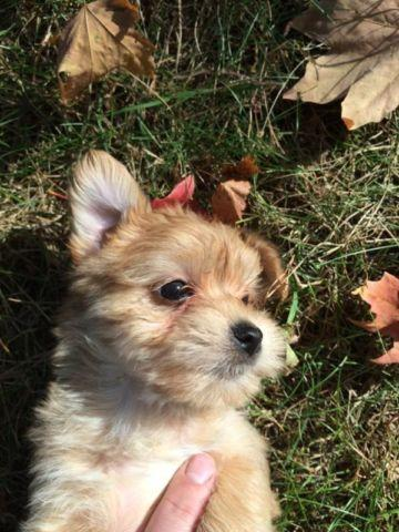 Morkie Puppies For Sale 81/2 weeks