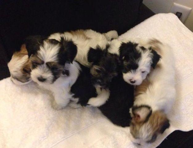 Morkie Puppies! (Maltese/Yorkie for sale in Virginia Beach, Virginia