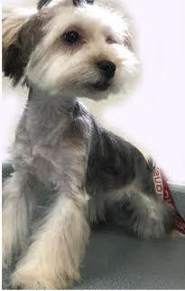 Morkie Puppy for Sale - Adoption, Rescue for Sale in Lena