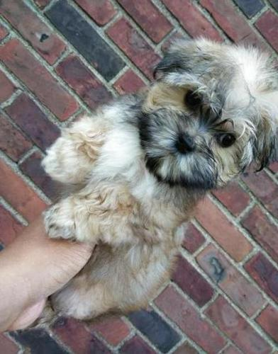 Morkie Puppy For Sale Adoption Rescue For Sale In Detroit