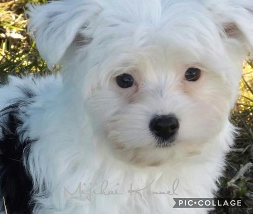 Morkie For Sale In Michigan Classifieds Buy And Sell In Michigan