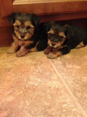 Morkie Pups - 2 males available