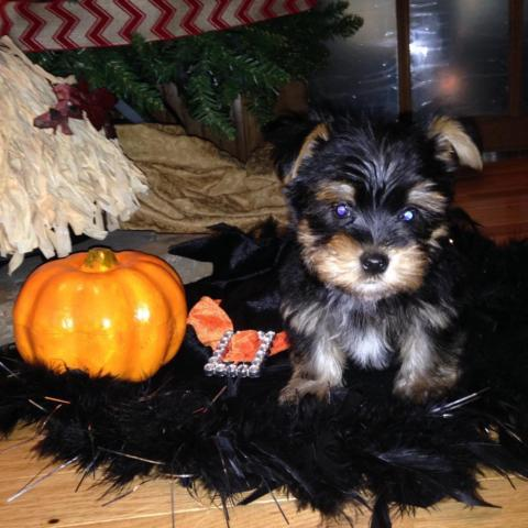MORKIE PUPS MALES
