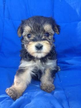 Morkie (Yorkie / Maltese) puppy