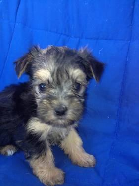 yorkie puppies for sale nebraska