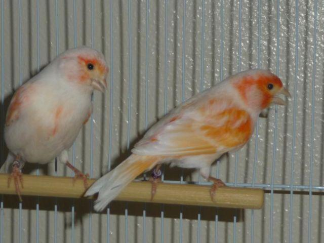Mosaic Canaries For Sale Mosaic-canary-pair-proven