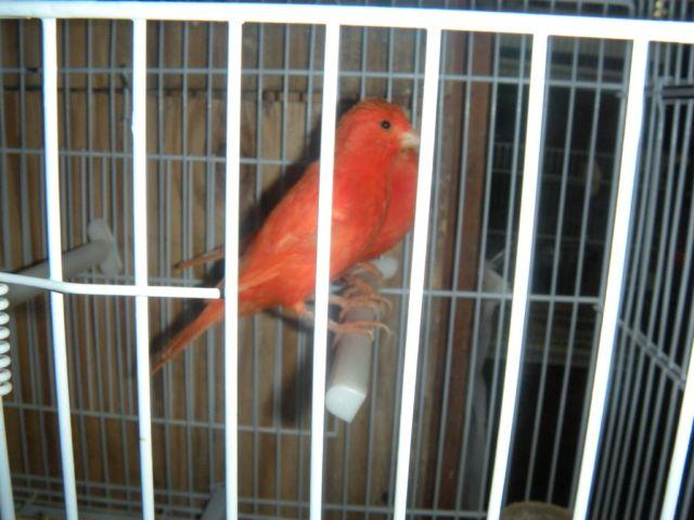 Mosaic Canaries For Sale Mosaic Red Canaries Red