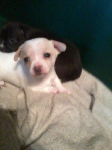 Mothers Day Ckc Toy Chihuahua puppys
