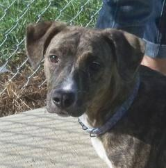 Mountain Cur - Maggie - Medium - Adult - Female - Dog