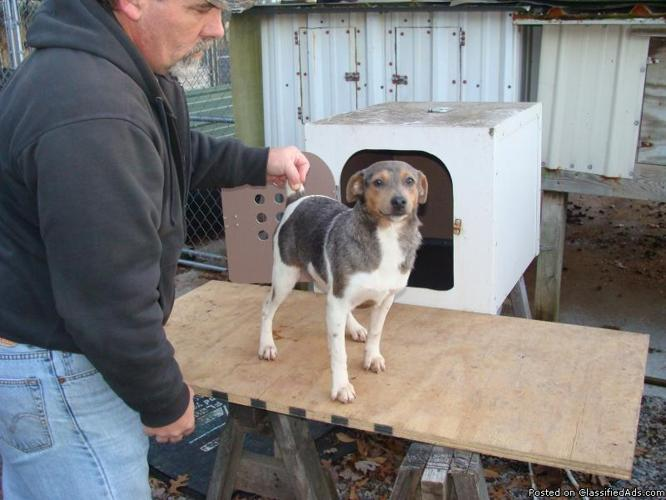 Mountain Feist(Dogs and Puppies) for Sale in Portland, Tennessee ...
