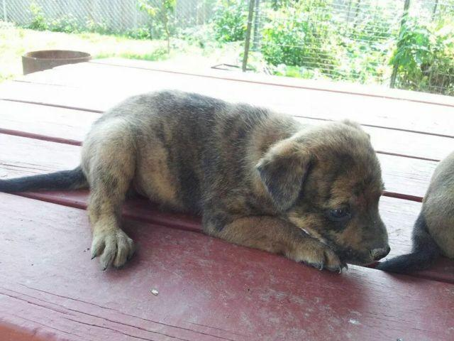 Mountain feist puppies for sale in Wooster, Ohio