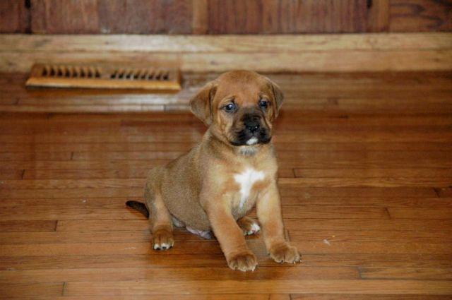 Mountain Mastiff Puppies for sale for Sale in Port Republic
