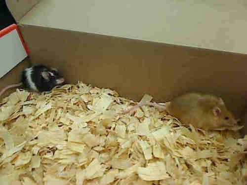 Mouse - A843040 - Small - Adult - Female - Small & Furry for