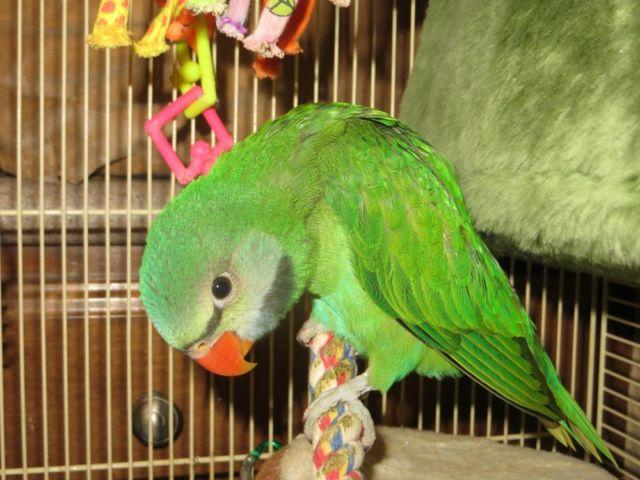 Moustached Parakeet(Parrot) Hand raised, well behaved and friendly