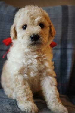 Moyen Medium Sized Poodle Puppies For Sale In Portland
