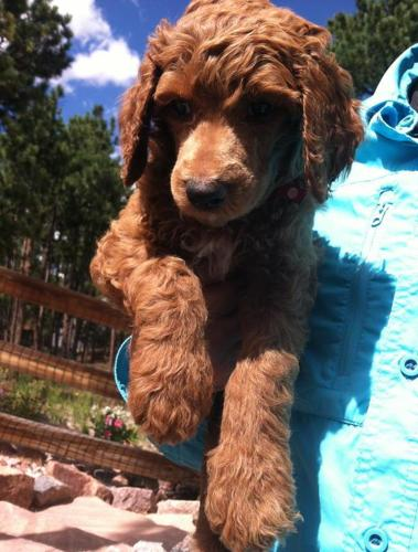 Toy Poodle Puppies For Sale In Pittsburgh Pennsylvania