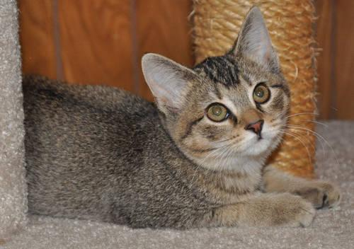 Abyssinian Mix DSH AbyssinianChausie mix