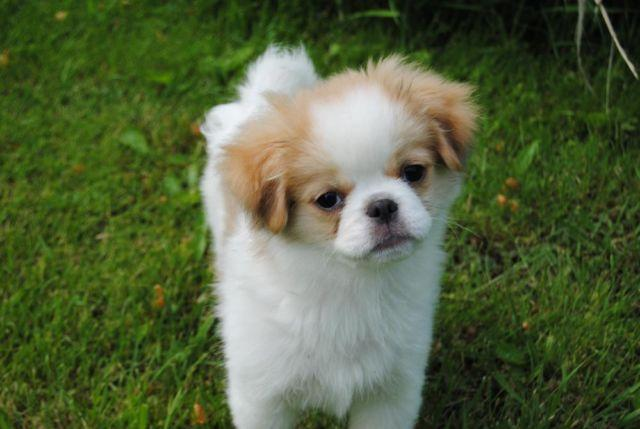 japanese chin shih tzu quot mr mellow quot evan japanese chin shih tzu cross for sale 9449