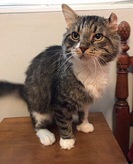 MUFASA (COURTESY POST) Hemingway/Polydactyl Adult Male