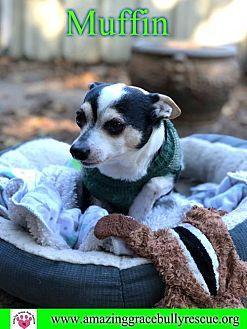 Muffin Chihuahua Adult Male