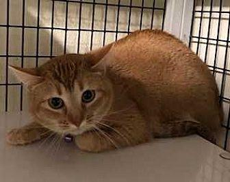 MUFFIN Domestic Shorthair Adult Female