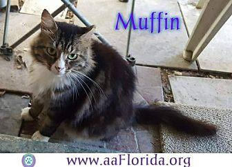 Muffin Maine Coon Adult Male