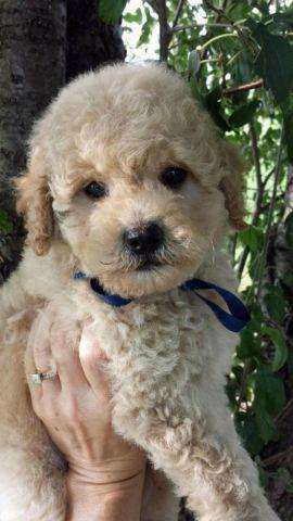 Multi Gen Mini Goldendoodle Males Ready Now For Sale In Kenosha Wisconsin Classified