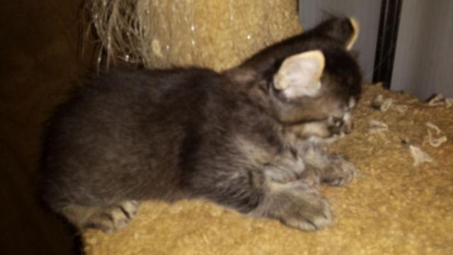 Munchkin And Highlander Curl Kittens 8 Week For Sale In Birkenfeld Oregon Classified