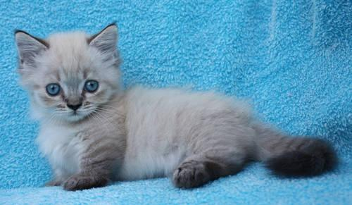 Munchkin and Napoleon kittens for Sale in Del Valle, Texas ...