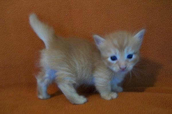 Munchkin kitten - orange male - long hair for Sale in Del ...