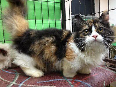 Munchkin cat for sale colorado