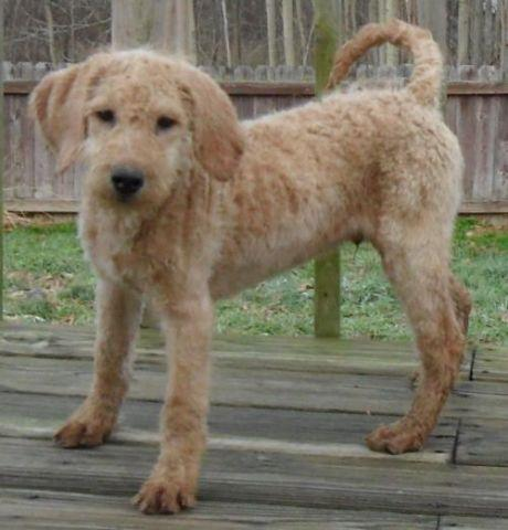 Murphey Precious Labradoodle Puppy For Sale In Ohio For Sale In