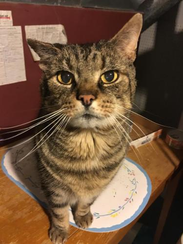 Murphy Brown Tabby Adult - Adoption, Rescue