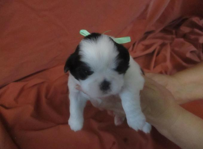 MURPHY,CKC Shih Tzu puppy male, purebreed,to rehome on