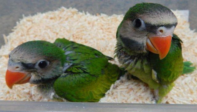 Mustached parakeets for Sale in North Lewisburg, Ohio