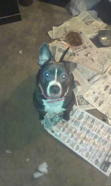 My 2yr old female pitbull pup needs a new family!