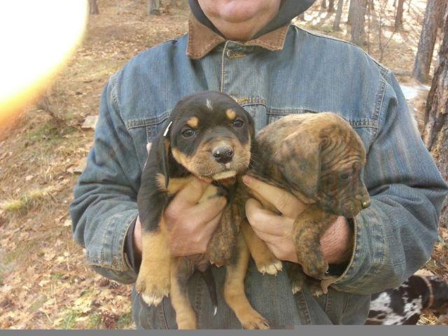 nalc reg  catahoula puppies for sale in fort jones  california classified