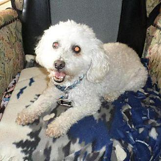 Napolean Fl Toy Poodle Adult Male For Sale In Brunswick
