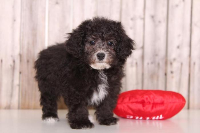 Nash Male Poochon For Sale In Columbus Ohio Classified