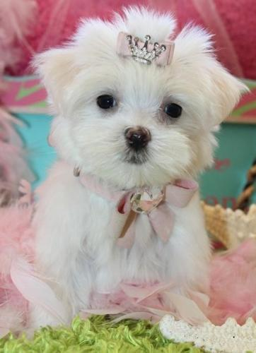 Nesflame Teacup Maltese Puppies For Sale In Madison New