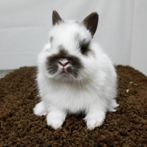 Netherland Dwarf Babies! For Sale In Madison, Ohio