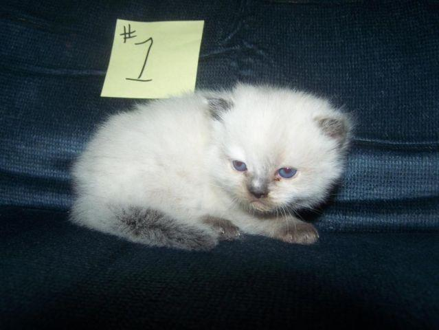 NEW BORN HIMALAYAN KITTENS ALL GIRLS 2 FLAME AND2