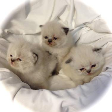New born Himalayan kittens now 24 days old