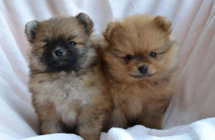 New!!!! Elite Pomeranian puppy for sale from Europe In