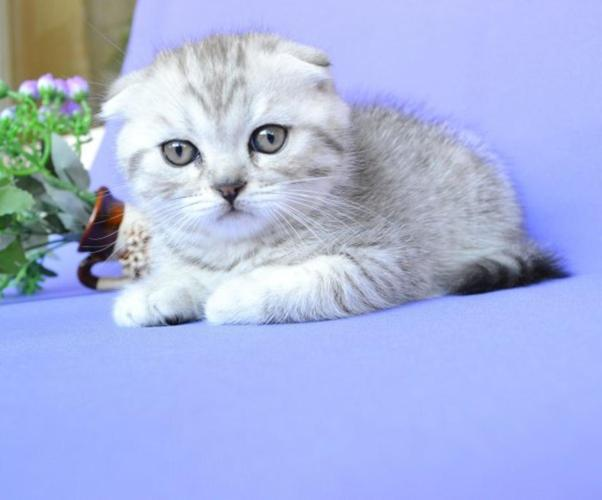 NEW!!!! Elite Scottish Fold Kitten From Europe With Excellent Pedigree   Male  Johnny