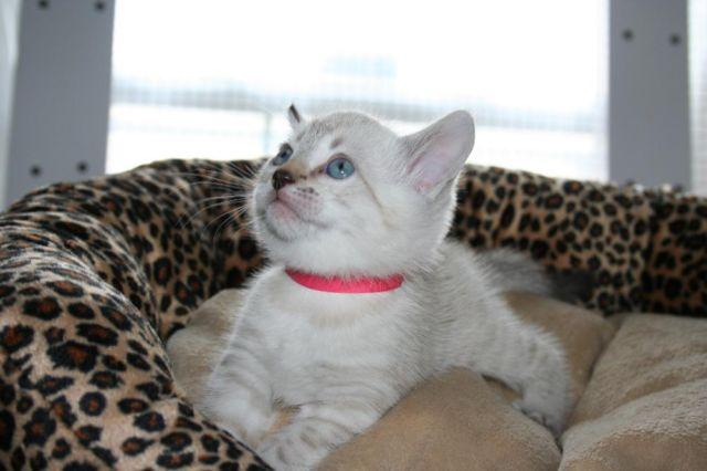 Bengal cats for sale in dayton ohio