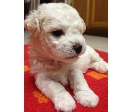 New Year pure breed bichon frise puppies for sale